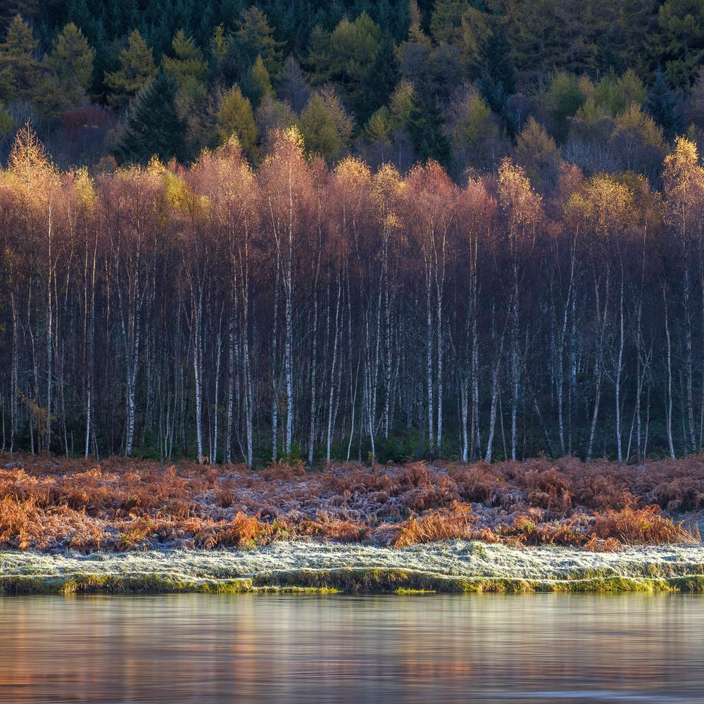 Birches on the Tay