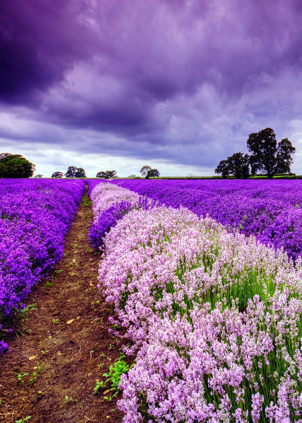 Lavender Fields - France