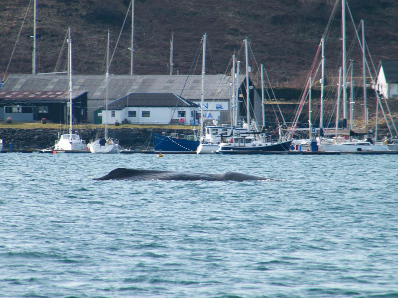 Sperm Whale in Oban Bay