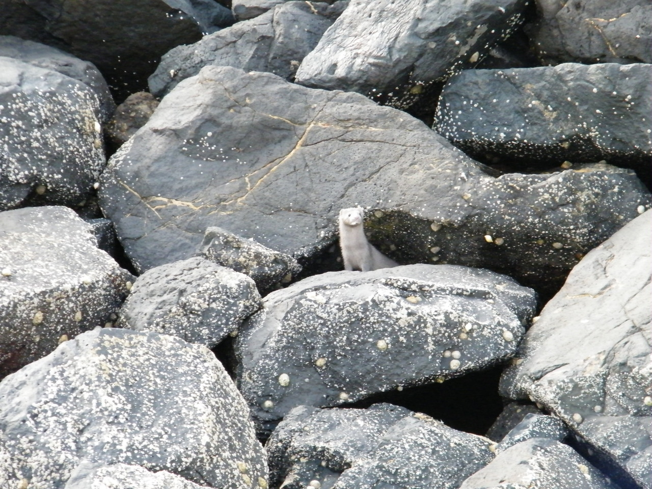 A Mink in Tobermory Harbour