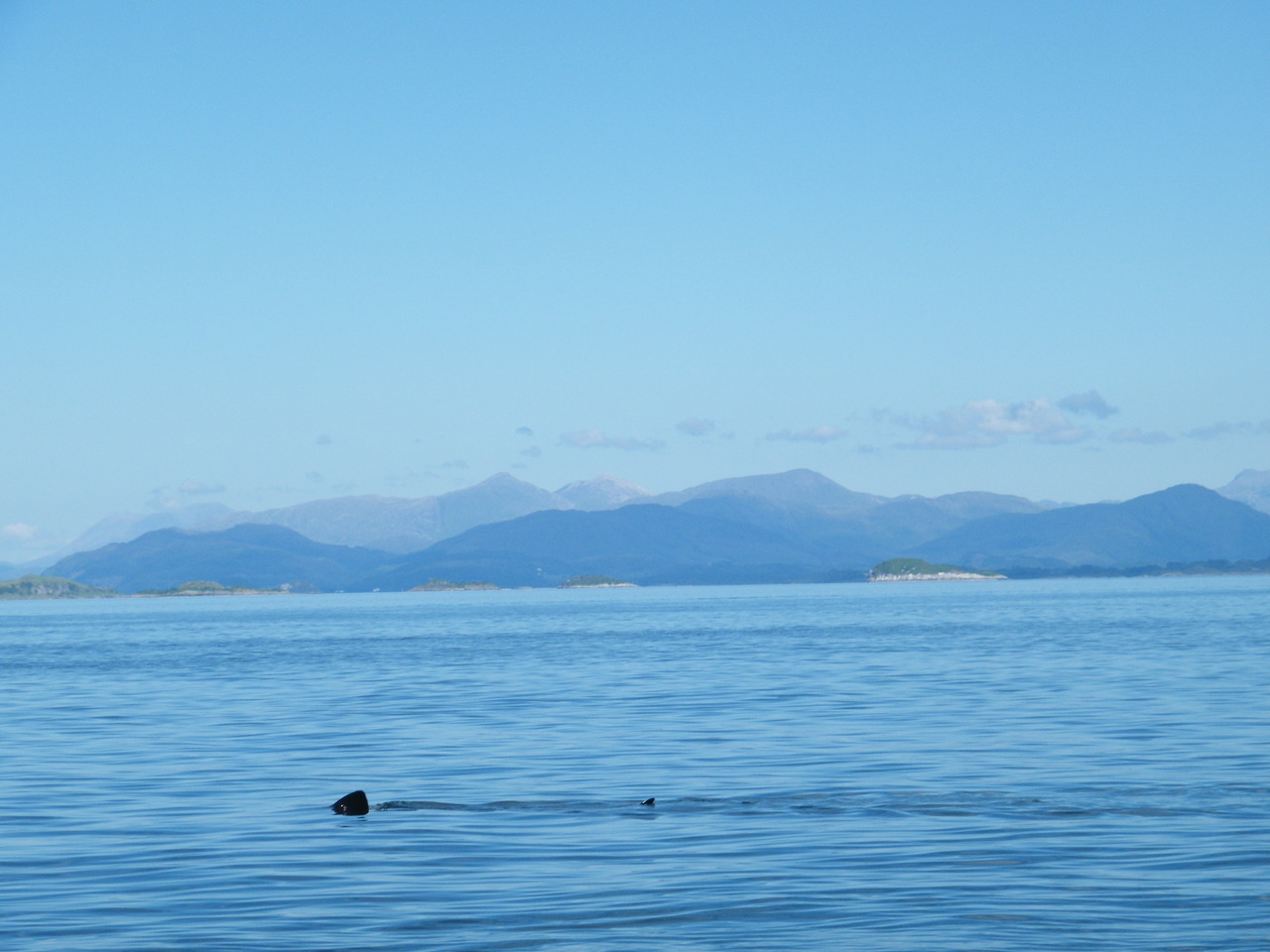 Basking Shark with Ben Nevis in the background