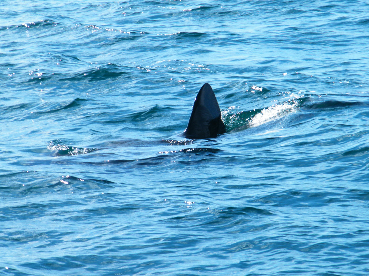 Basking Sharks at Treshnish