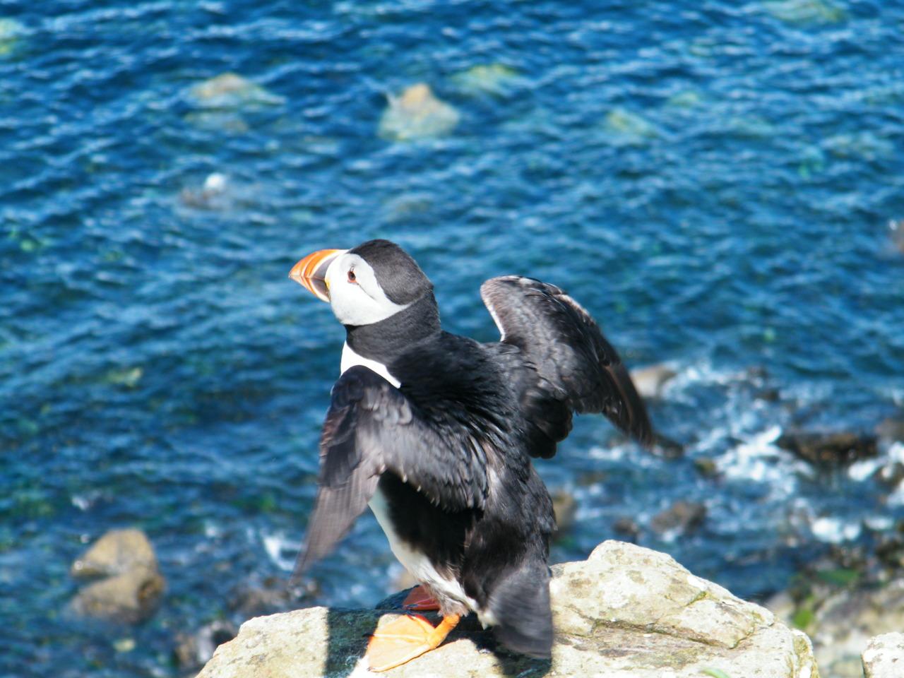 Puffin on Lunga, Treshnish Islands