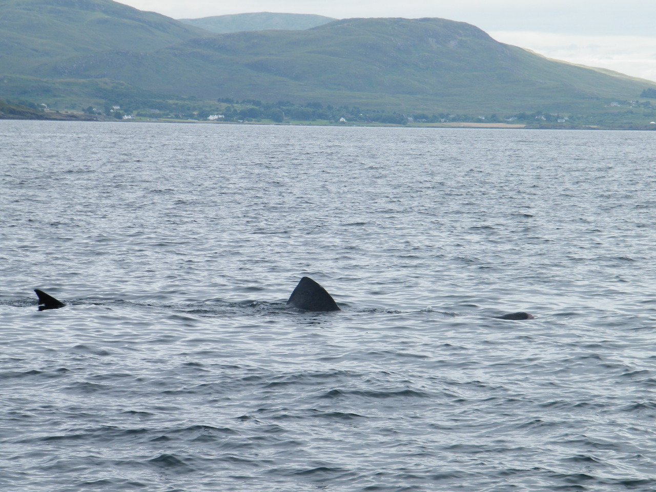 20 foot Basking Shark