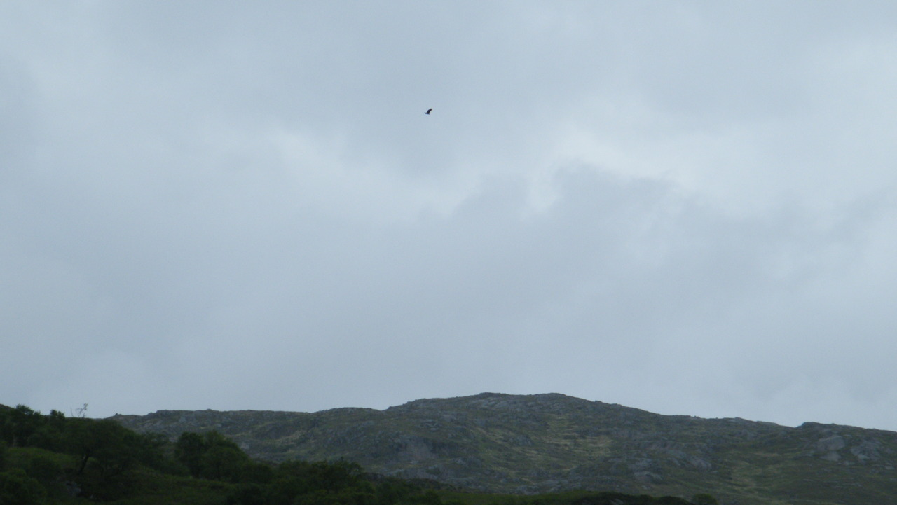 Sea Eagle Soaring (from a distance)