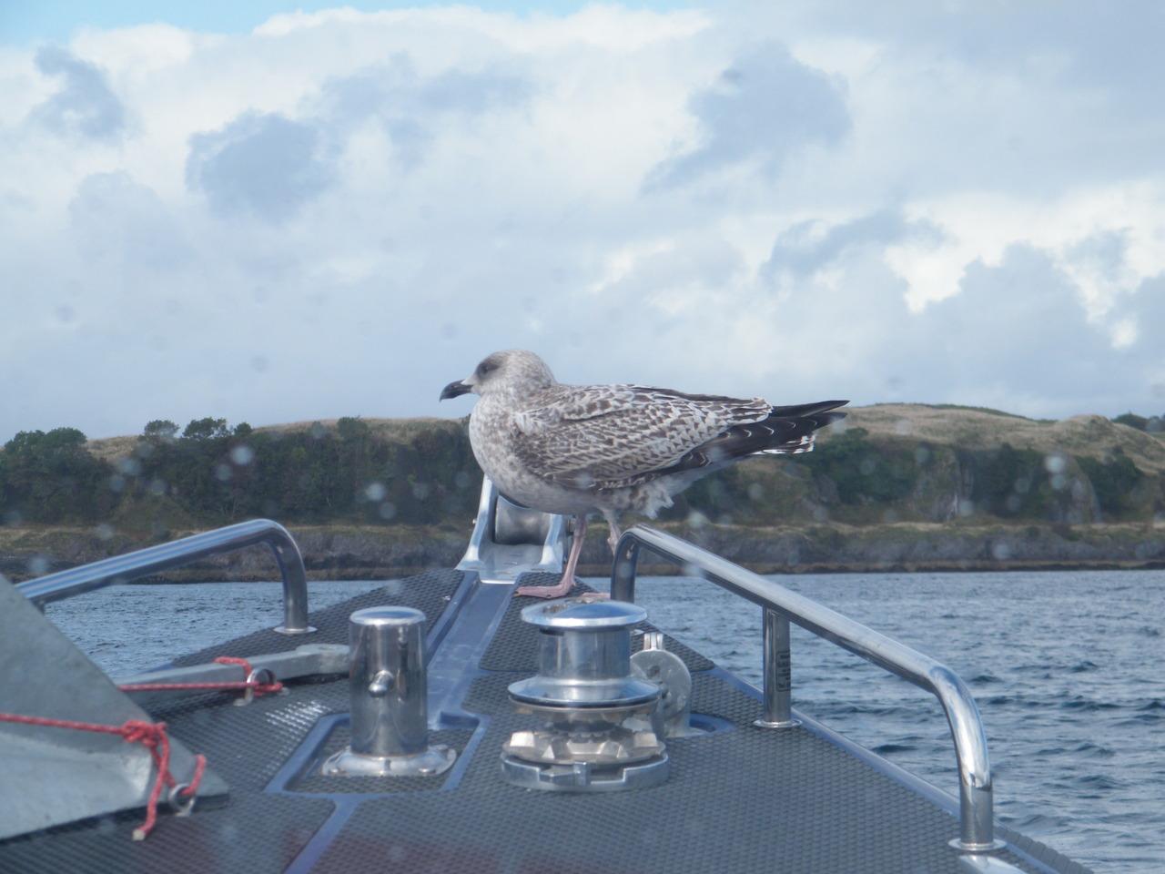Cheeky Seagull