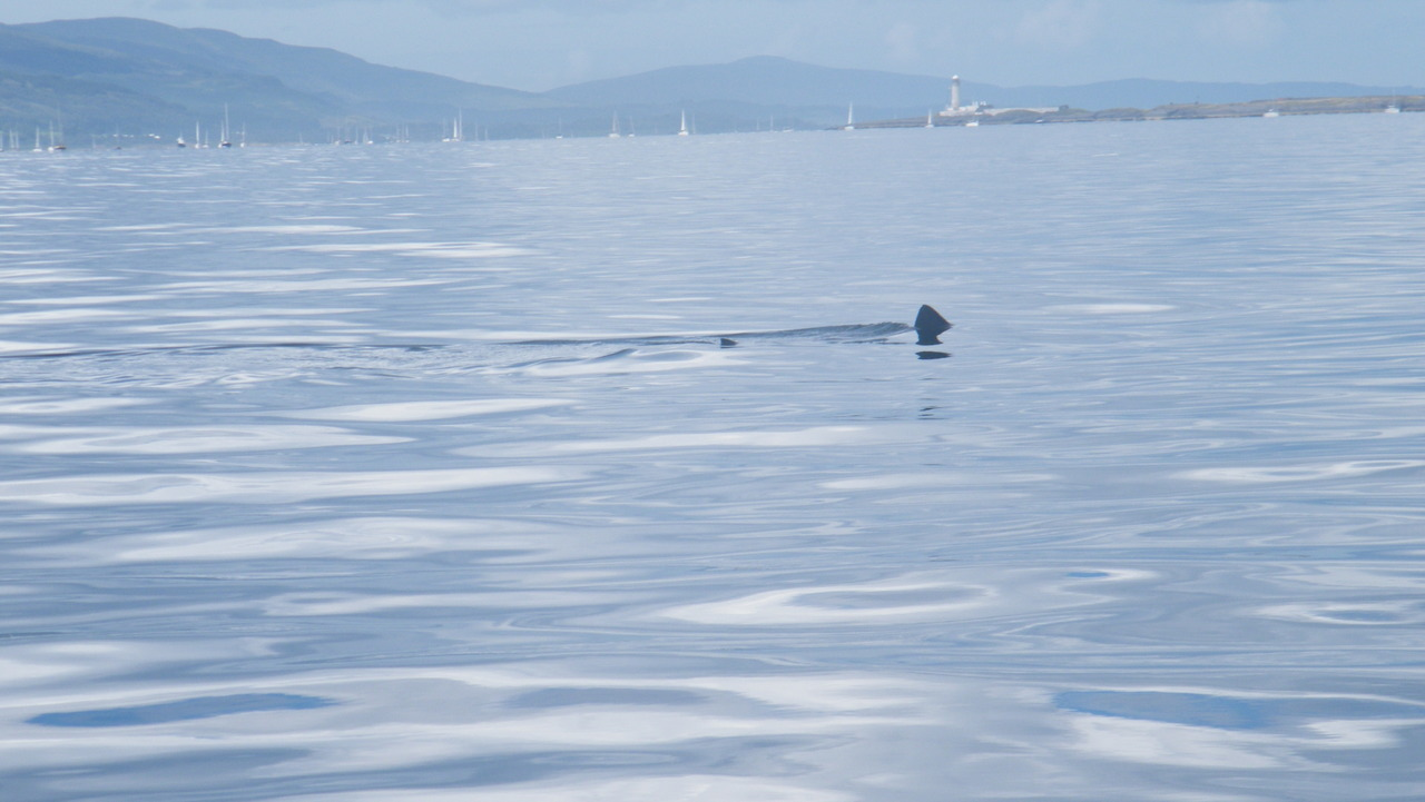 Basking Shark off Lismore Light