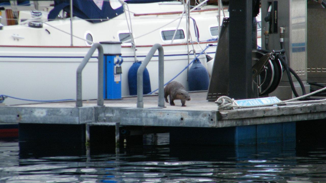 Cheeky Otter