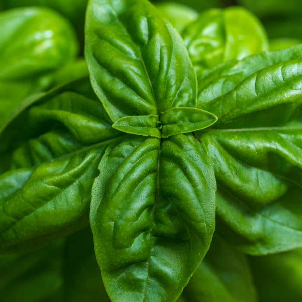 Our delicious home grown basil