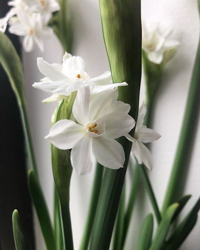 paperwhite #friends - - -  #backtobasics #gardening #flora