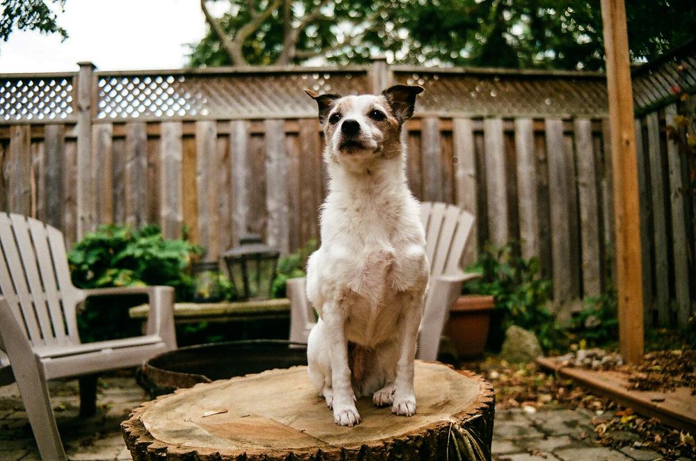 Jack-Russell-Terrier-Toronto-1.jpg