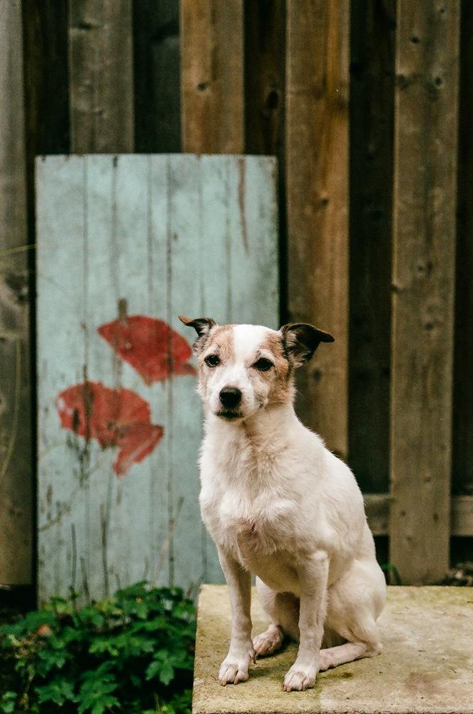 Jack-Russell-Terrier-Toronto-2.jpg