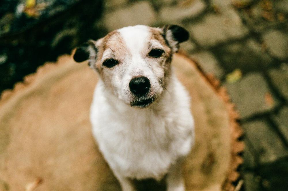 Jack-Russell-Terrier-Toronto-5.jpg