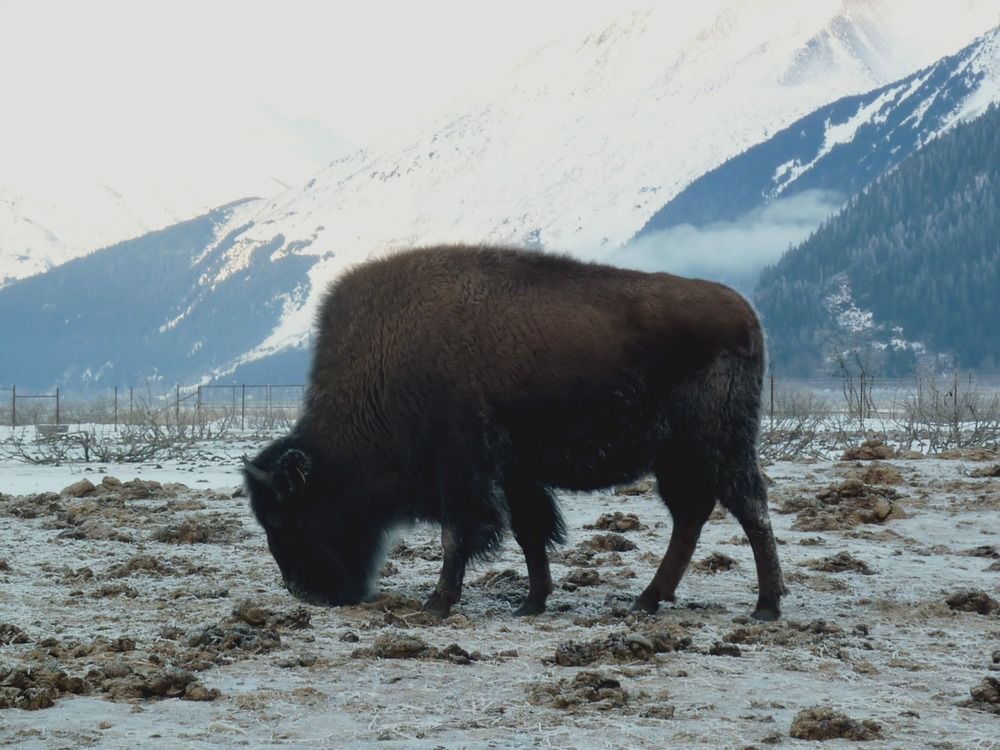 Alaska Bison - The Exploress