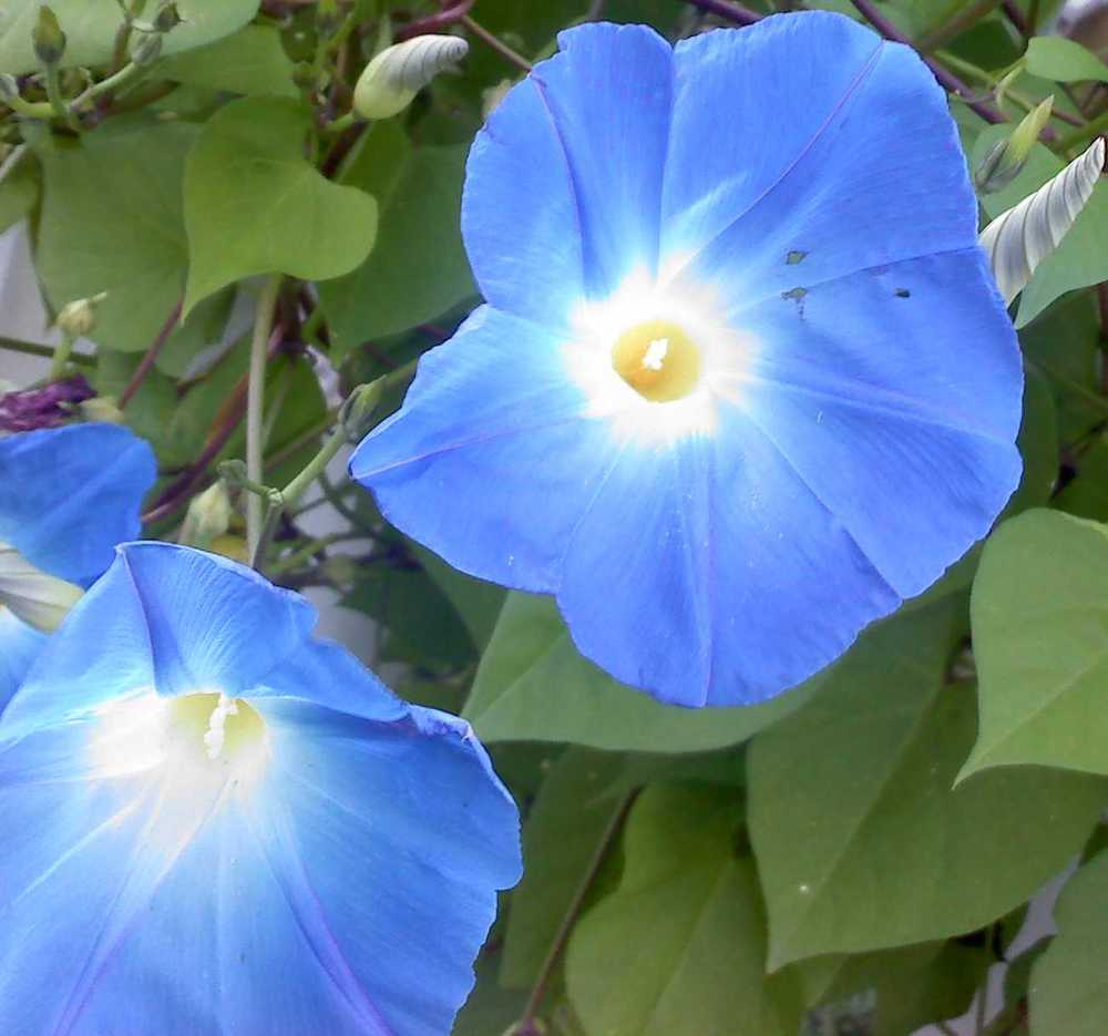 morningglory-small.jpg