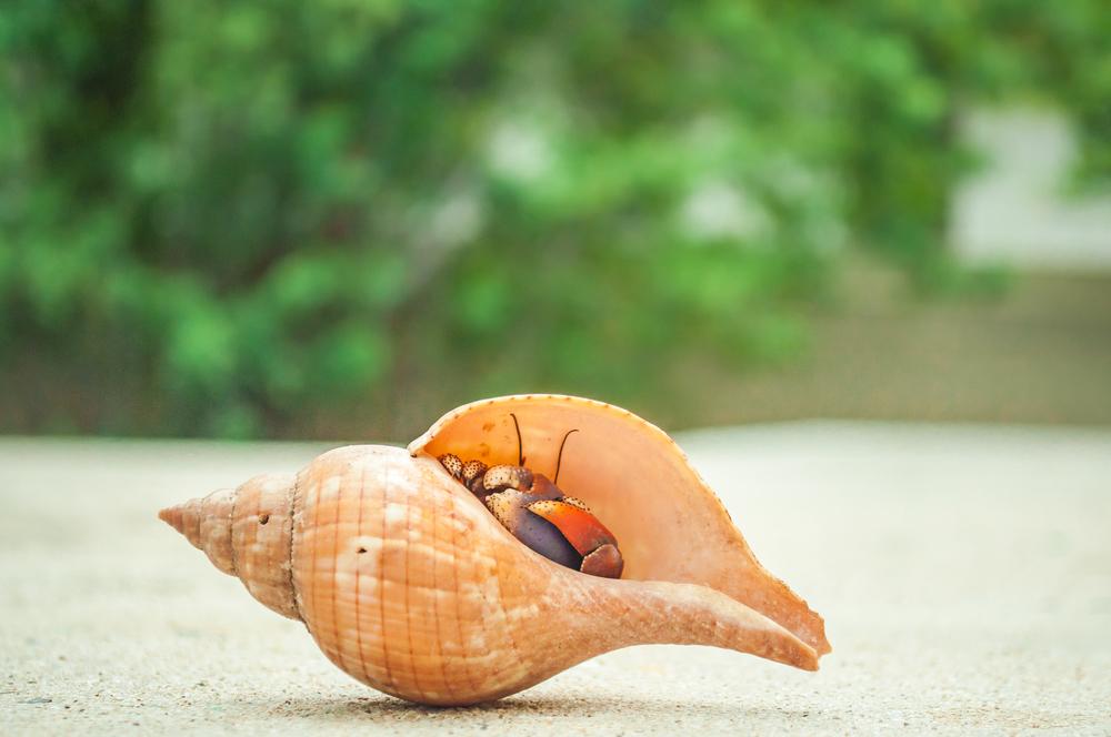 St Croix Hermit Crab