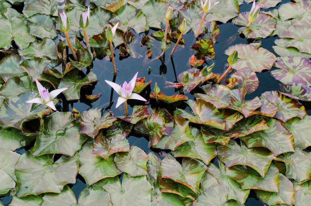 Lilypads at Longwood Gardens Evening Stroll from Farmcoast Editorial and Meg Summerfield Studio