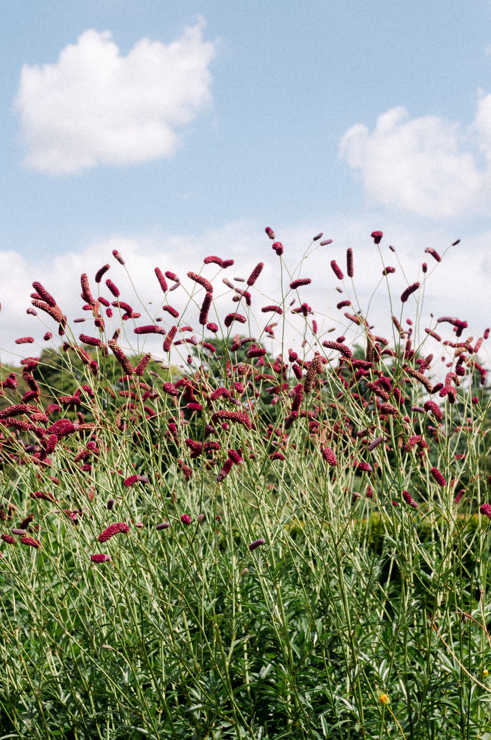 Sanguisorba officinalis (we think) or Greater Burnet - this one we would love confirm on if anyone has any ideas!