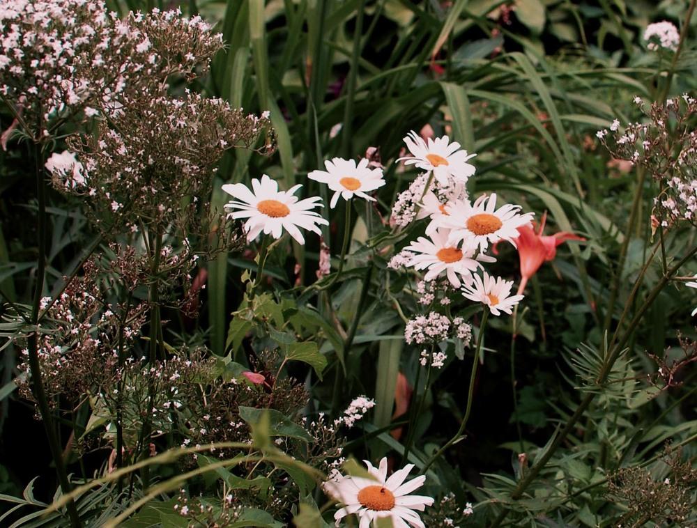 Daises in a community garden