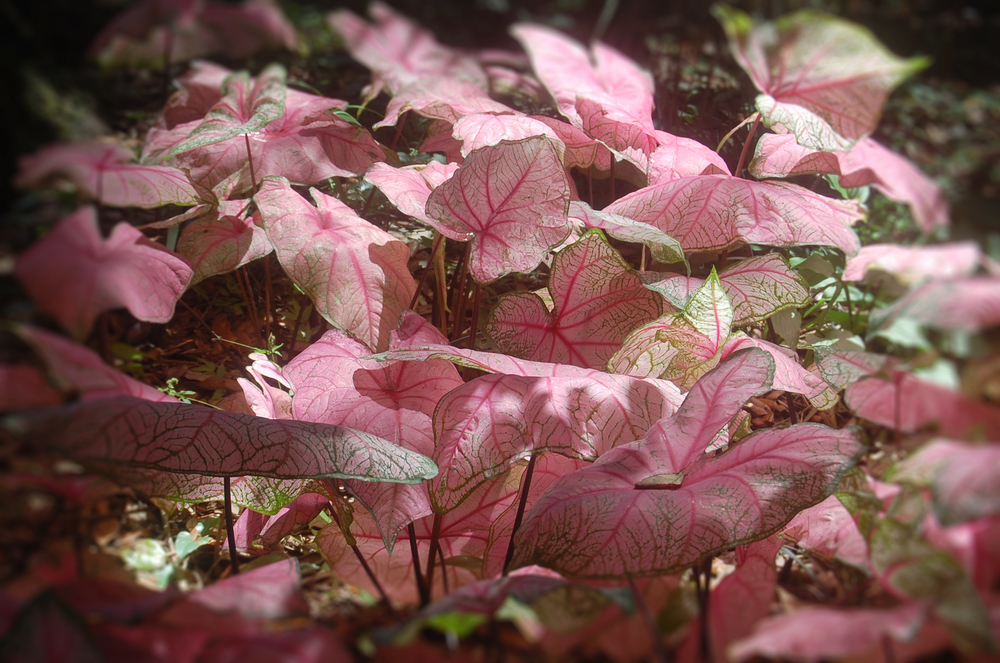 South Carolina pink leaves.jpg