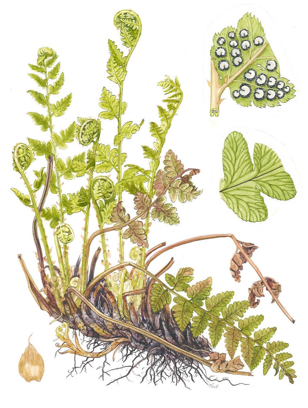 tind-dryopteris-cristata.jpg