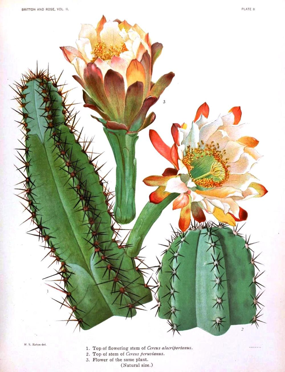 Botanical-Cactus-1.jpg