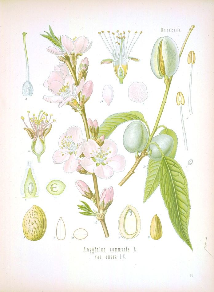 Botanical-Kohlers-Mediznar-Pflanzen-Almond.jpg