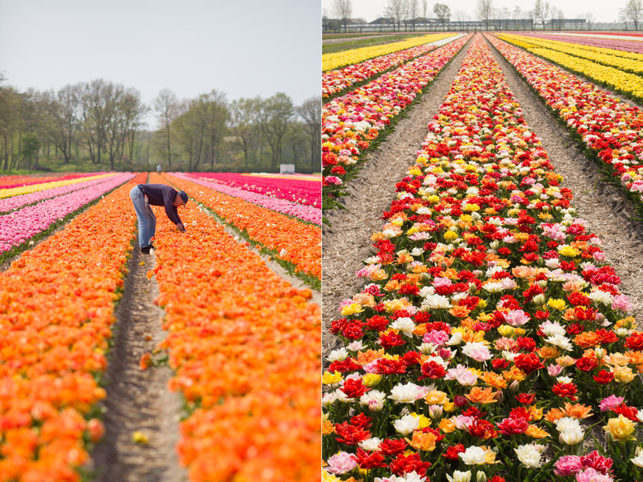 holland tulip fields_007.jpg