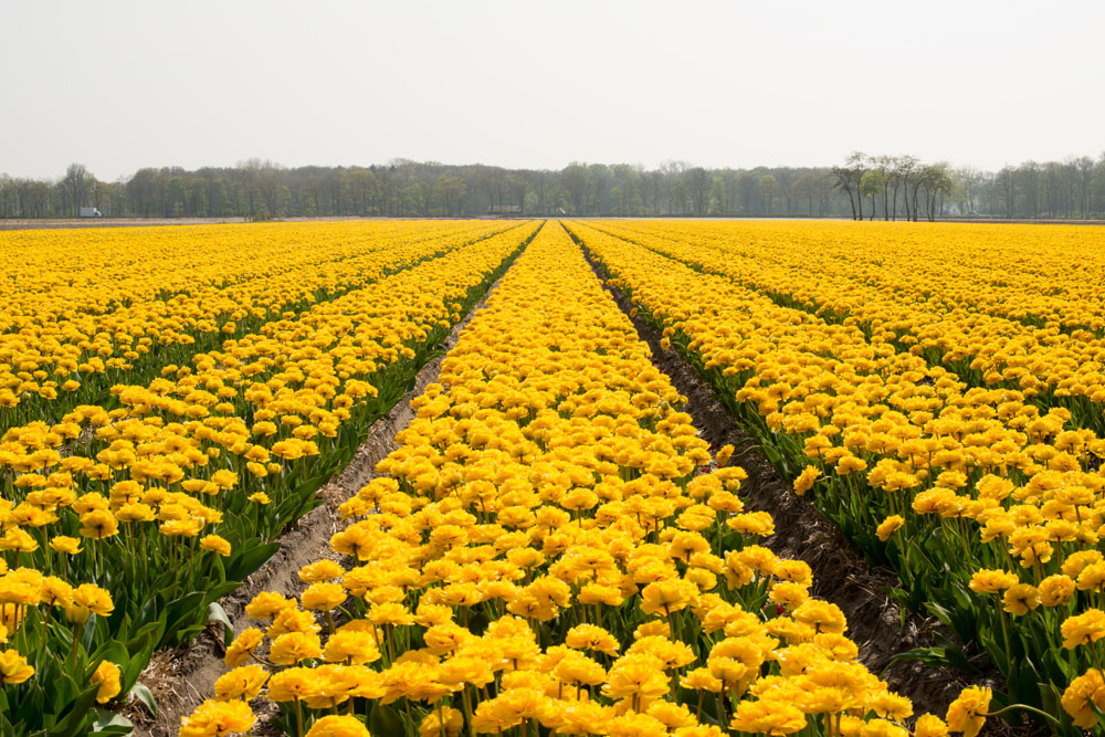holland tulip fields_008.jpg