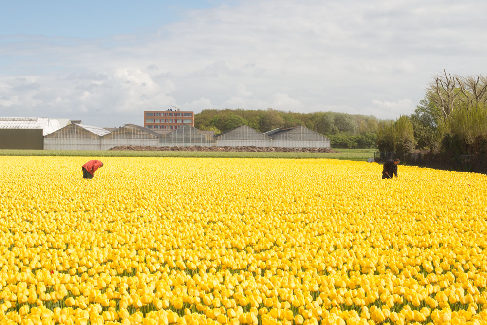 holland tulip fields_024.jpg