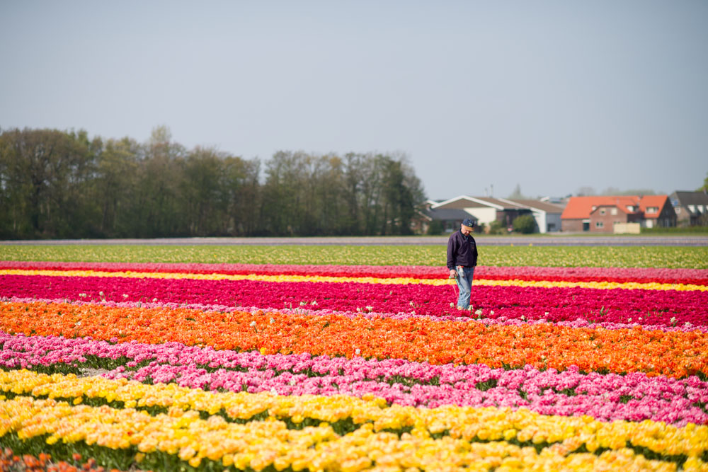 holland tulip fields_025.jpg