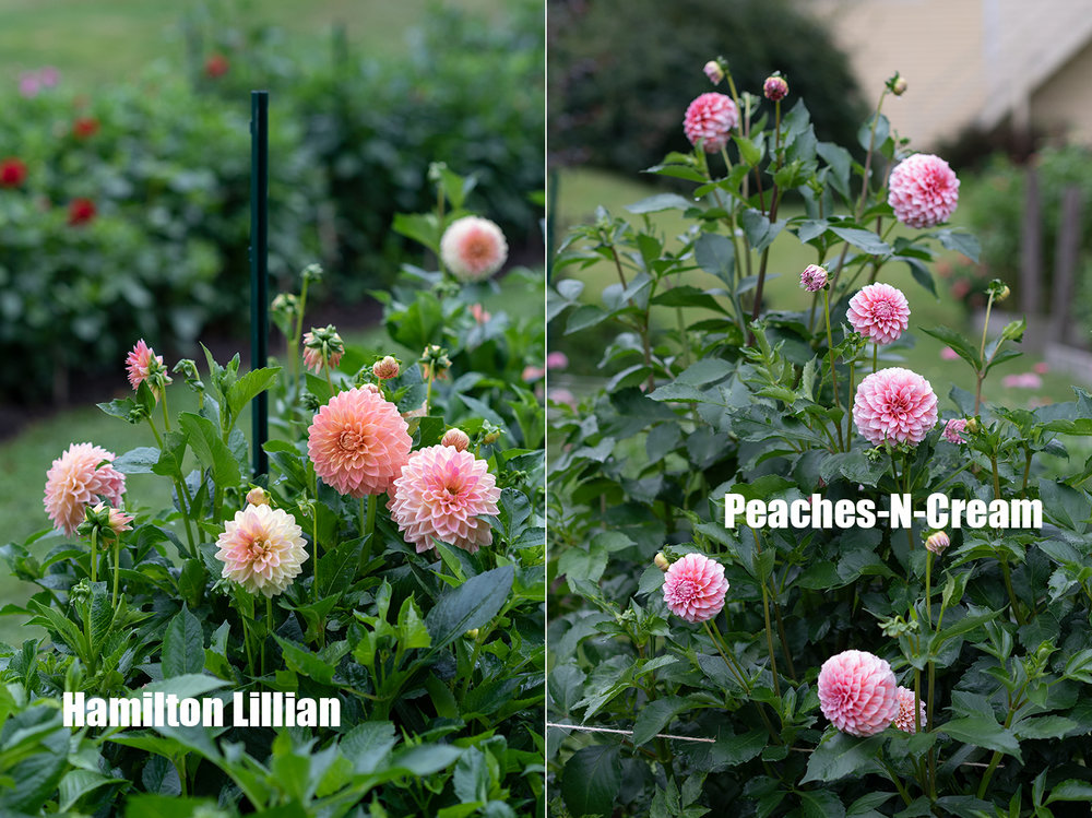 Project_Dahlias20180910_0009.jpg