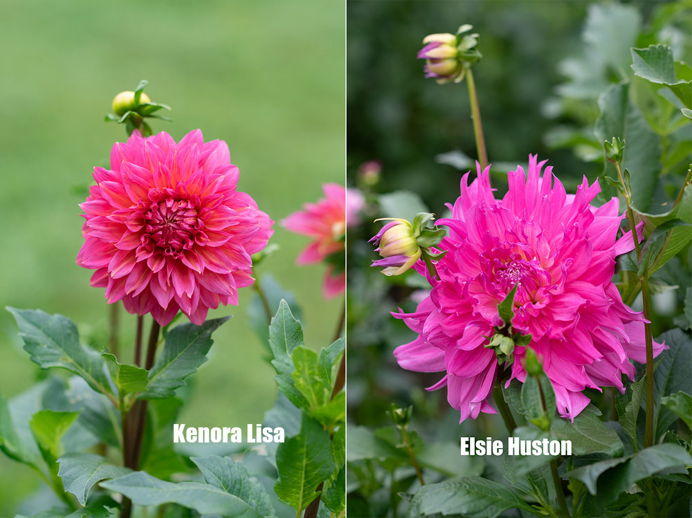 Project_Dahlias20180910_0006.jpg