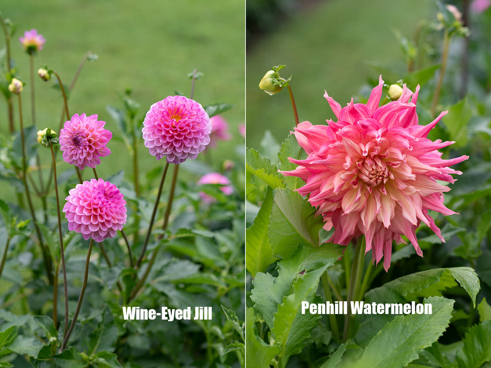 Project_Dahlias20180910_0005.jpg