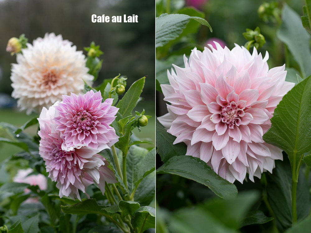 Project_Dahlias20180910_0003.jpg