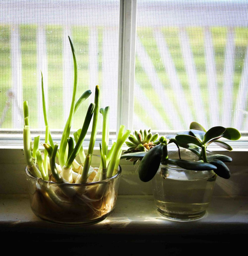 My mom always has green onions and succulents on her window sill.