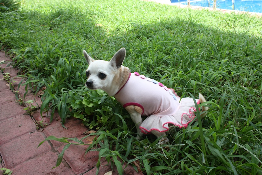 Chihuahua in tutu, Norfolk, VA | Photo credit: Susannah Breslin