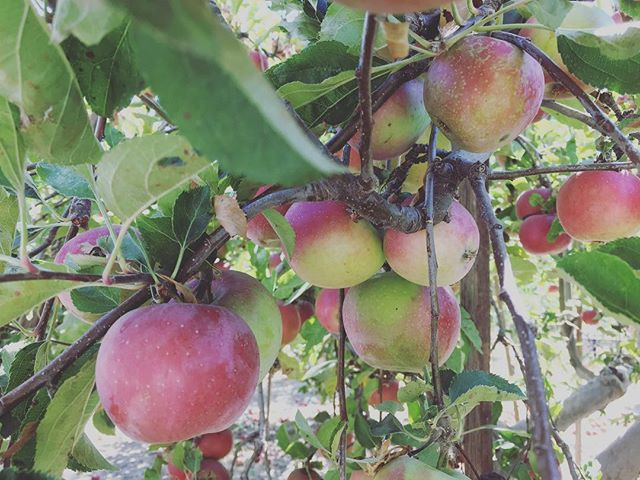 Went apple picking today #applepie #pie