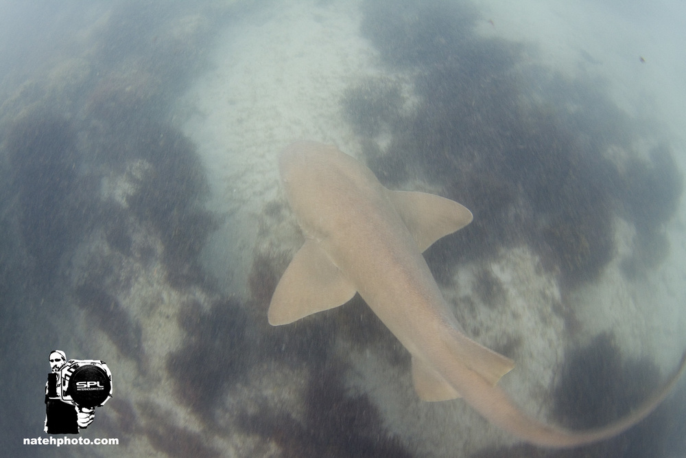 Here's a little nurse shark I found close to shore. This is the first Nurse Shark I have ever swam with! Really stoked to see her this morning!
