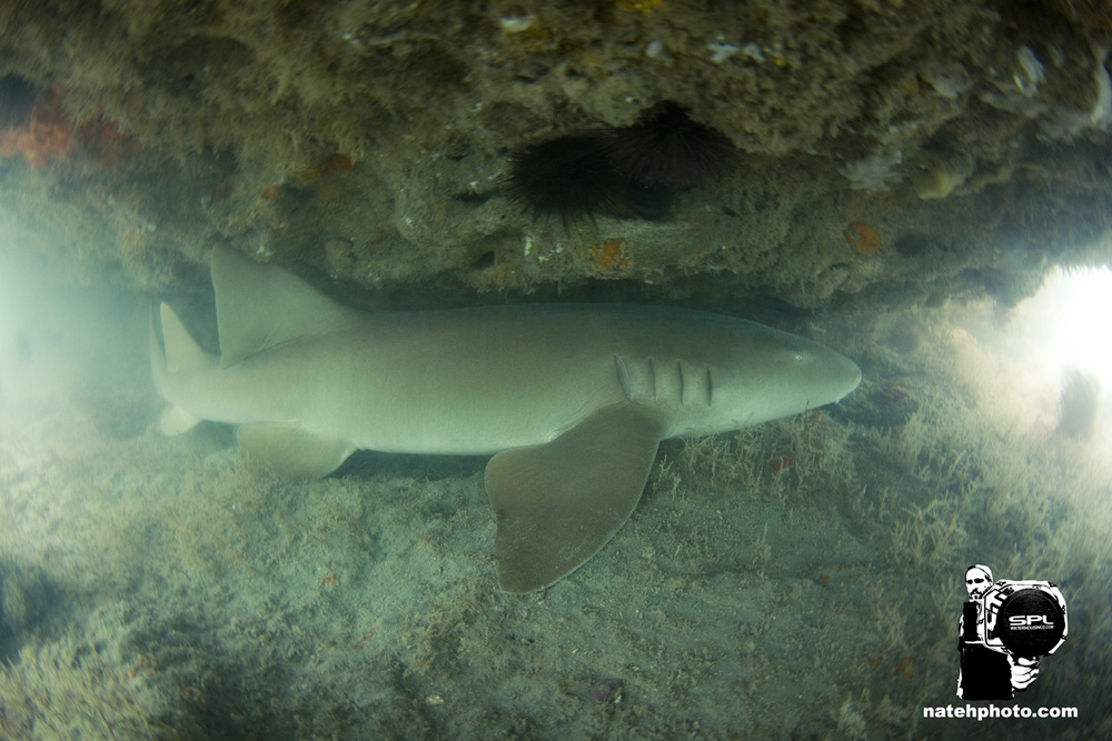 And I saw this Nurse Shark's tail sticking out from under the ledge. I dove down to find that she was pretty big! I would say close to six feet or so.
