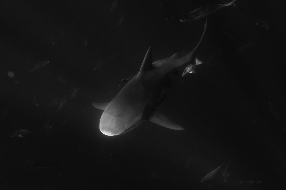 A stream of light hits this Bull Shark for a nice portrait setting. Fish everywhere underneath. It is a wild world out there.