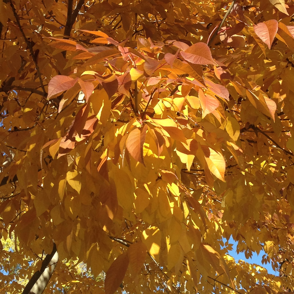 Autumn colors; a rare site in Denver in November