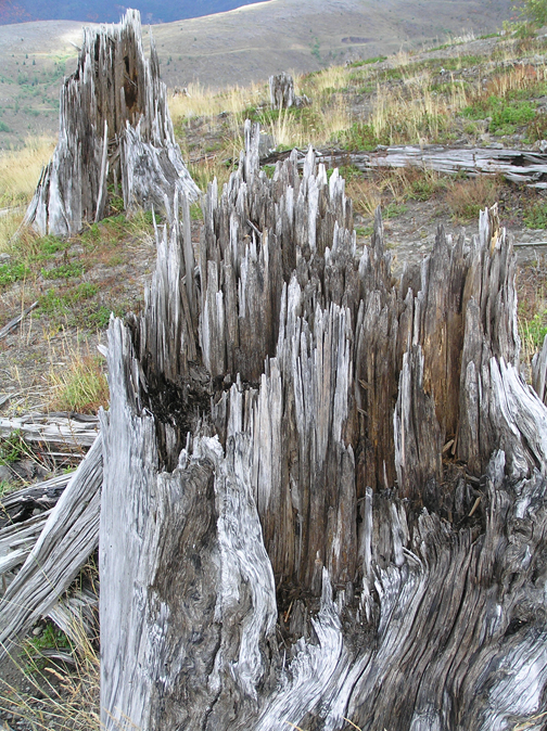 Exhibits and videos at Johnston Ridge Observatory illustrate the destruction caused by the huge blast in 1980. These jagged tree stumps are remnants of the destruction.