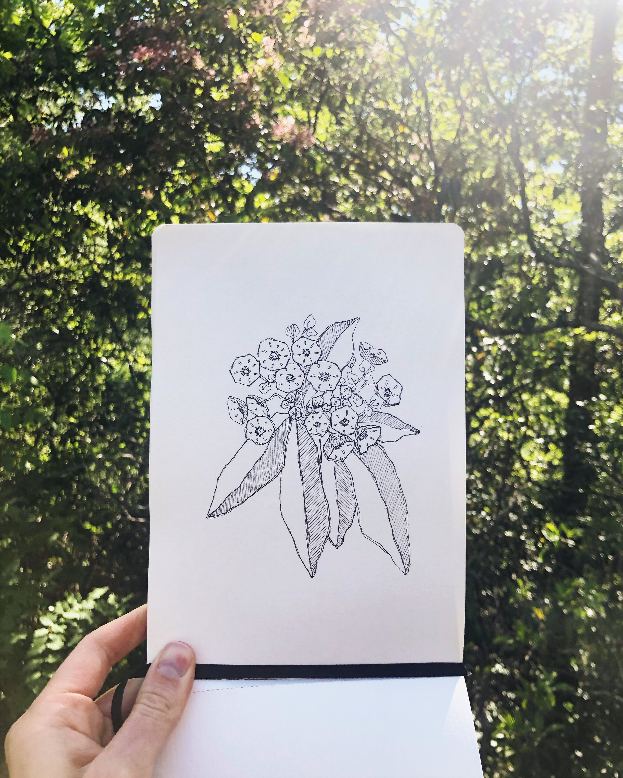 Amidst a string of nights out of town and days away from home, I brought out the sketchbook and doodled this Mountain Laurel…