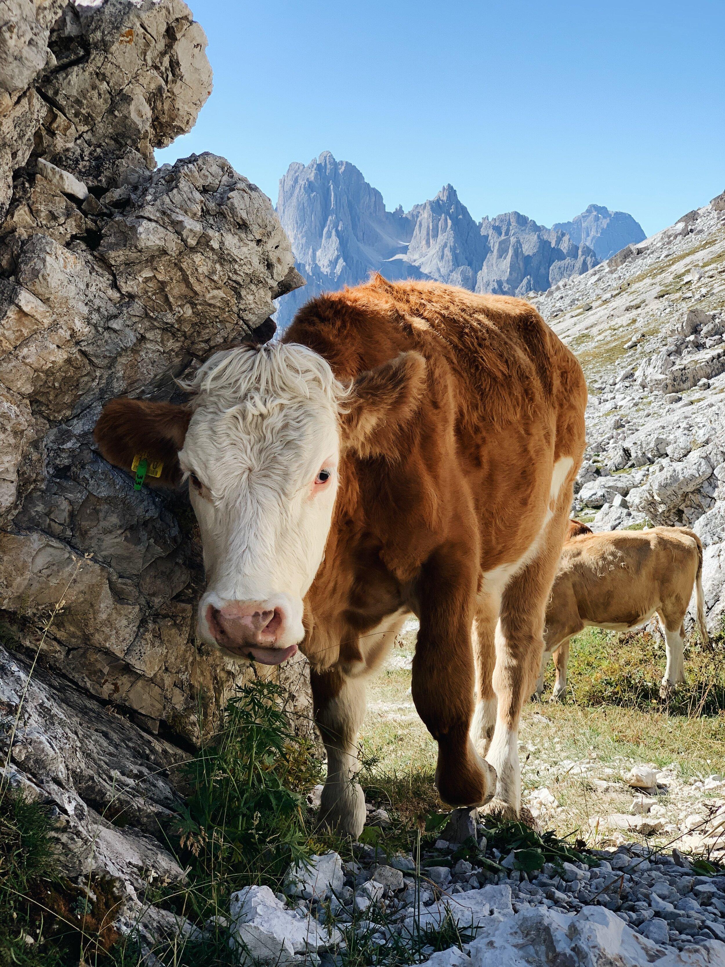 Cow friend.