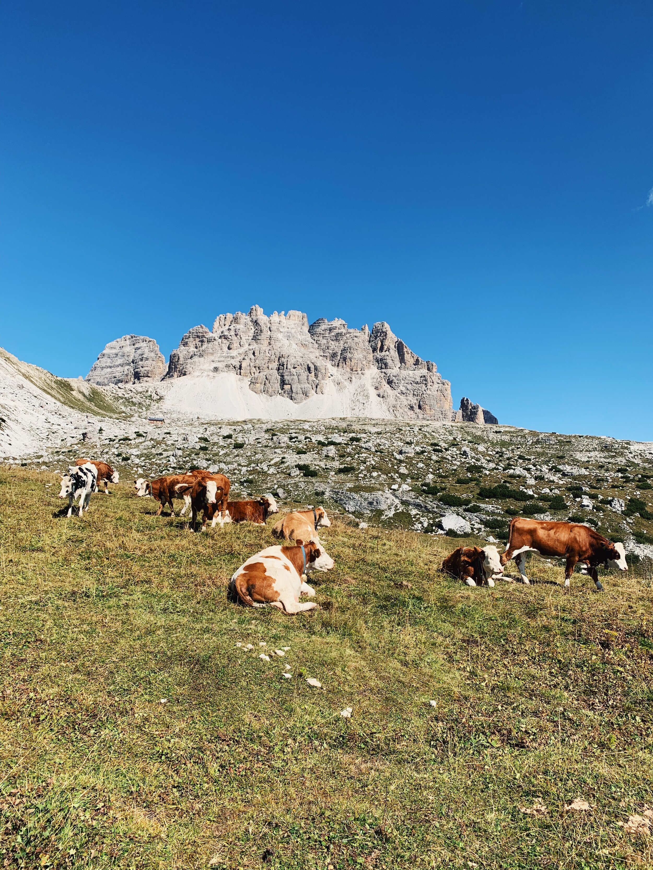 Cow friends along the trail to Tre Cime.