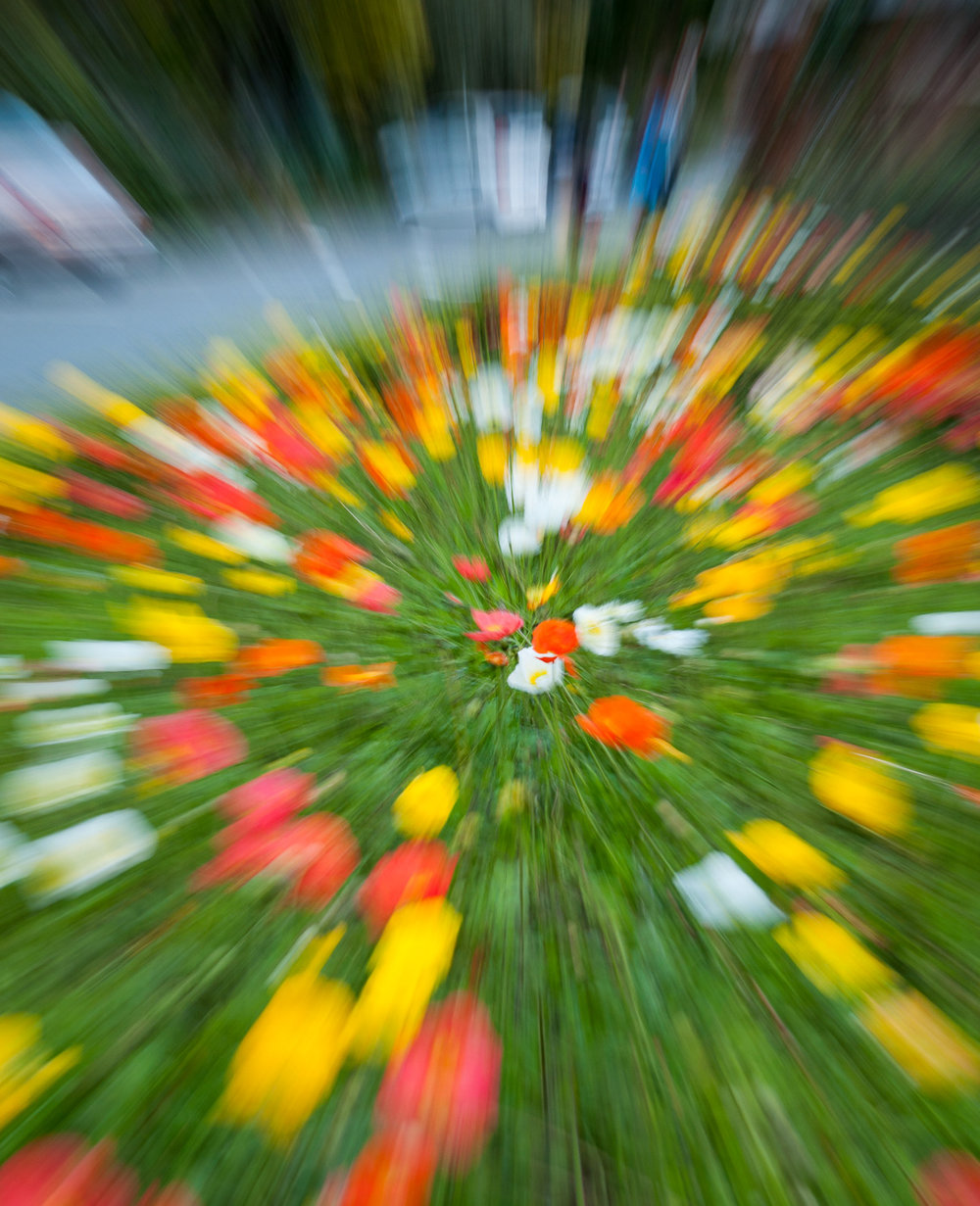 A blur of poppies at Wellington Botanic Garden rose garden