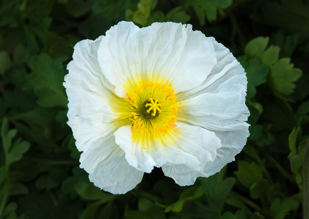 A close look at a single Iceland poppy flower reveals a bright face with golden stamens and gorgeously crinkled petals