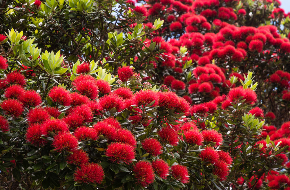 Flowering in December - the pohutukawa, sometimes called the New Zealand Christmas tree.