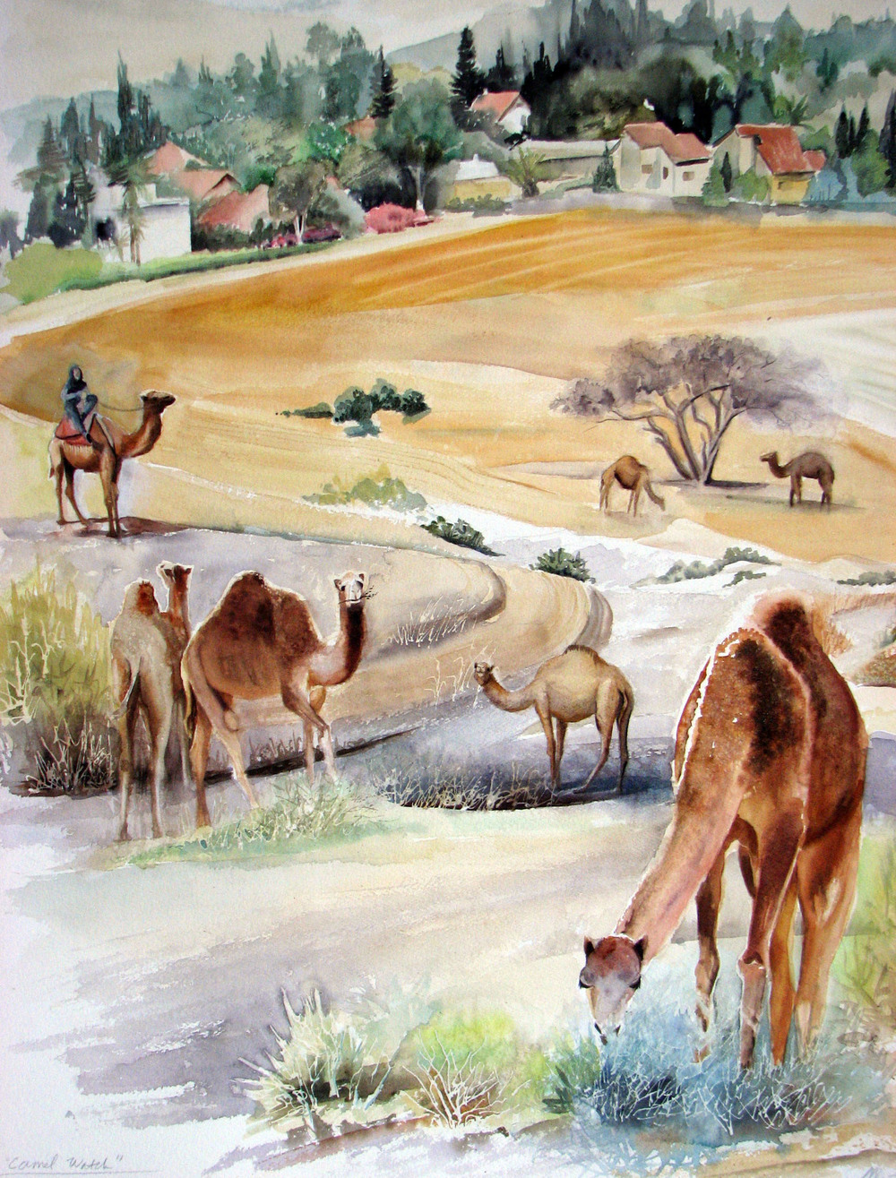 Grazing Camels in Omer